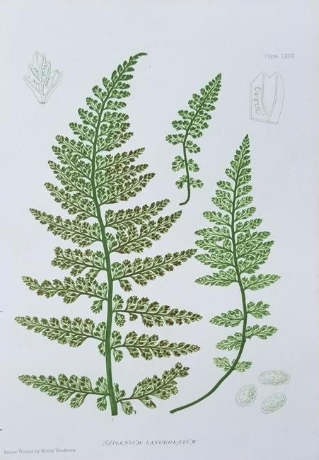 Bradbury, Henry (1831-1860) (Ferns)