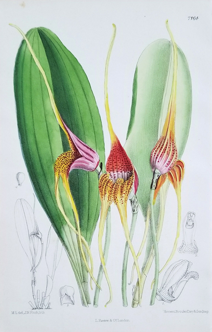 Curtis, William (1746-1799) / Fitch, Walter Hood (1817-1892) Botanical Magazine