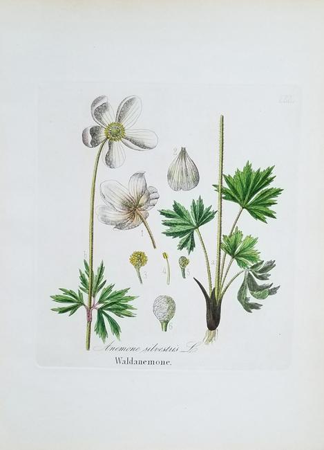 Dietrich, Dr. David Nathaniel Friedrich (1800-1888) Forst Flora