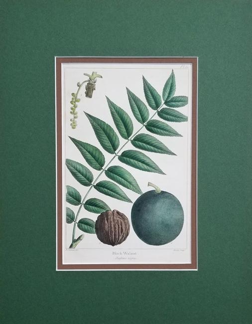 Michaux, Francois-Andre (1770-1855) (Trees)
