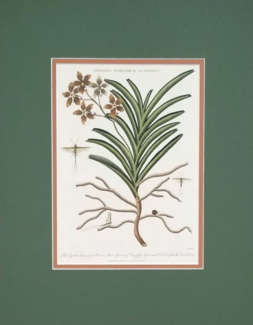 Wilkes, John (1750-1810) Botanical Category