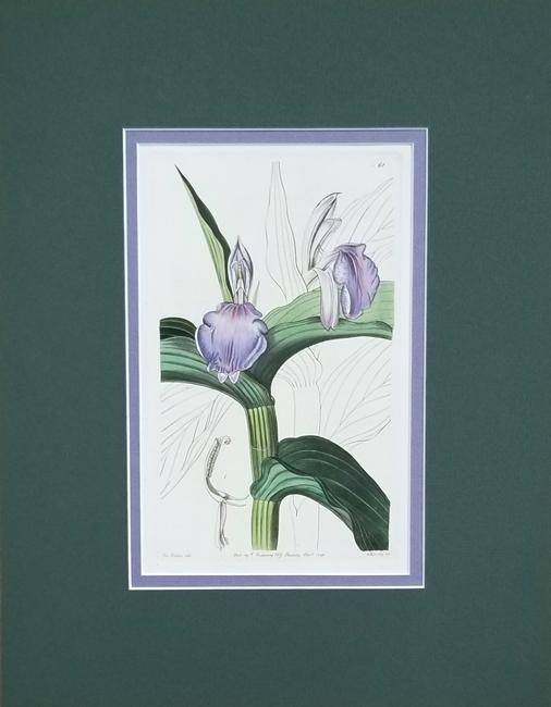 Edwards, Sydenham (1769-1819) Botanical Register of Exotic Plants