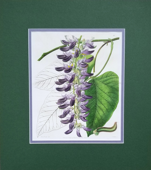 Edwards, Sydenham (1769-1819) Botanical Register of Exotic Plants, Fold Out / Double Prints