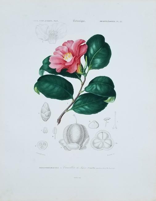 D'Orbigny, Charles Dessalines (1806-1876) Botanical Category